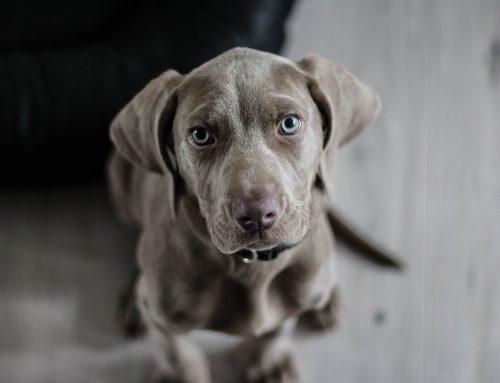 Licencias para perros peligrosos